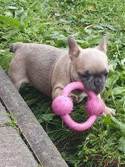 reinrassige Französische Bulldoggen Welpen