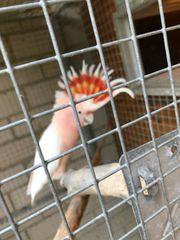 Suche inka Kakadu Henne