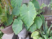 Taro-Pflanze