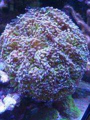 Korallenableger Euphyllia Korallenableger