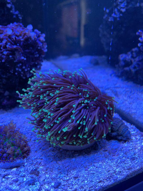 Meerwasser Anemonen&Korallen SPS, LPS und Black Torch