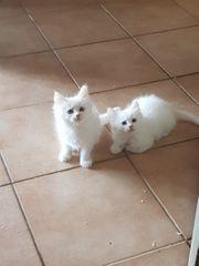 2 Maine Coon Kitten suchen