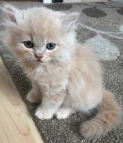 Perserbaby Perserkitten Katzenbaby