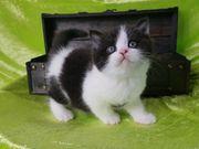 Britisch Kurzhaar Kitten mit Stammbaum
