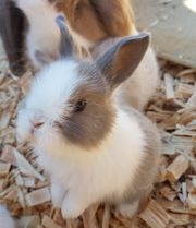 Baby Kaninchen Zwergkaninchen Hase Häsche