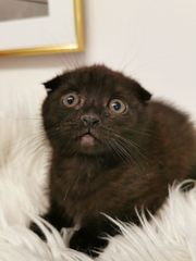 Babykatze schottische faltohrkatze sucht neues