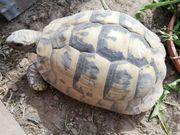Landschildkröten THH Weibchen