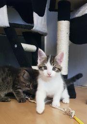 Maine Coone Mix Kitten