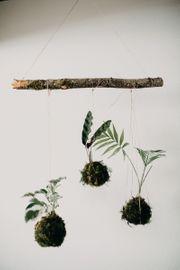 Kokedama Hängepflanze Lebend
