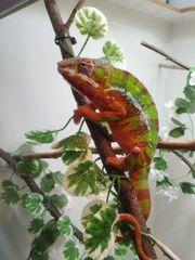 Phantherchamäleon Weibchen Furcifer Pardalis Ambilobe