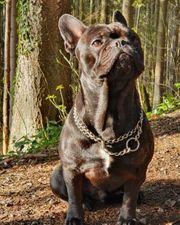Französische Bulldogge - Deckrüde