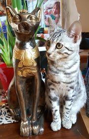 Bengal Kitten geb.