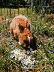 Suche relativ altes Kaninchenweibchen