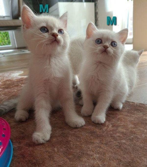 BKH-Kitten mit Stammbaum nur noch