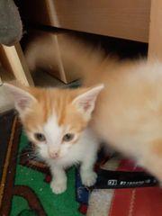Maine Coon-Mix Kitten und ein