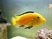 Labidochromis Yellow Malawi Buntbarsche vom