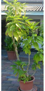 Trompetenbaum in gelb