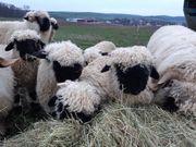 Waliser schwarznasenböcke zu verkaufen