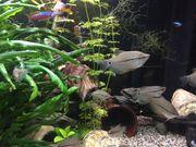 Aquarium Junge Mosaikfadenfische