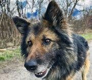 AMADEUS Altdeutscher Schäferhund - er ist