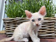 Sphynx Brush Kitten