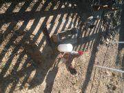 Hühner Zwerghühner Steinpiperl