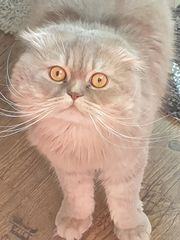 Scottish Fold Kater 1 5