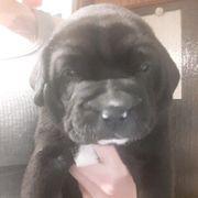 Boxer Labrador Mischlinge