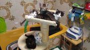 Hauskatze - Perser Mischlinge 8Wochen alt