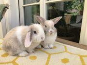 Zwergwidder NHD Kaninchen