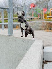 Französische Bulldoge Deckrüde zuchttauglich erfahren