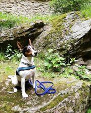 Jack Russell Terrier - langbeinig kurzhaar