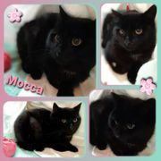 Wunderschöne schwarze Katze Mocca 11