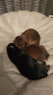 Kokoni Terrier-Mischlings Welpen
