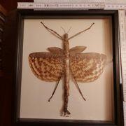 Präpariertes Insekt Tierpräparat