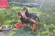 Hübsche Chihuahua Husky suchen Lieblingsmensch