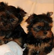 Suche Mini Yorkshire Terrier