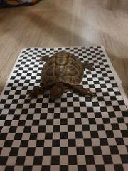 griechische Landschildkröte- Testudo hermanni boettgeri