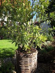 Weißer Oleander 2 Meter groß