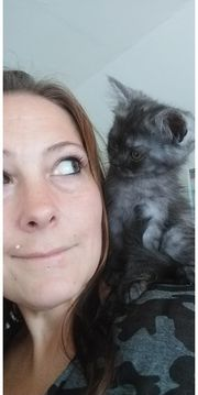 Bkh-Perser Kitten