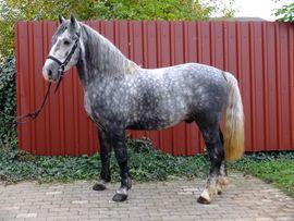 Lipizzanermixwallach Bastek: Kleinanzeigen aus Buttstädt - Rubrik Pferde