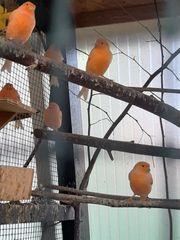 Kanarien rot orange aus 2018