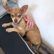 Chihuahua Rüde 16 Wochen alt