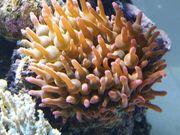 Entacmaea quadricolor Korallen für Meerwasser