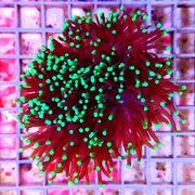LPS Korallen Fungia Acanthastrea Favia