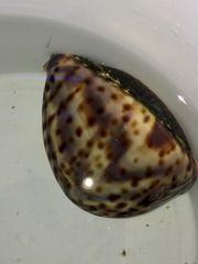 Meerwasser Cypraea tigris Tigerschnecke oder