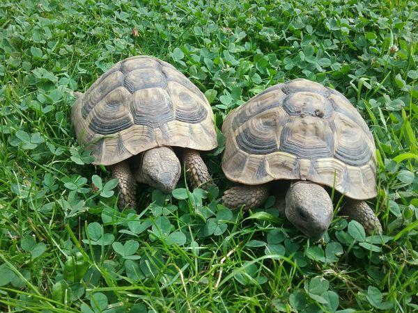 Griechische Landschildkröten THB NZ 2012