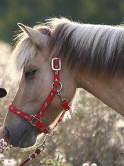 Pflegebeteiligung Pony sucht Reiter