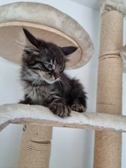 Maine Coon Kitten dürfen ausziehen