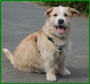 Pitt 7 Jahre - Terrier-Mix - Tierhilfe